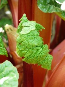 rhubarb-54085_1280