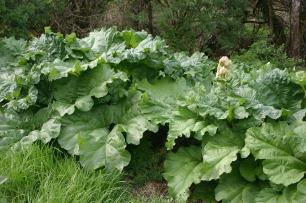 rhubarb-644248_1280