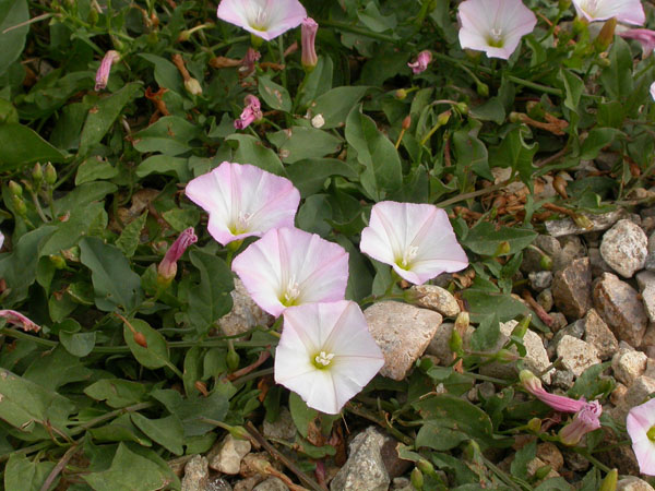 field_bindweed_small