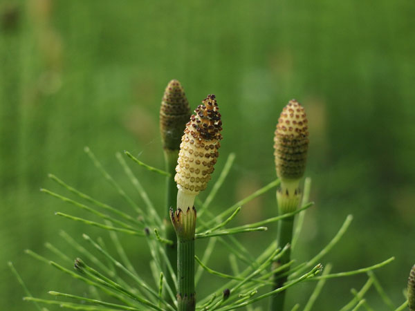 horsetail01_small