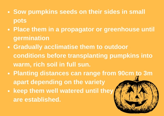 Sow pumpkins seeds on their sides in small 7.5cm (3-) pots