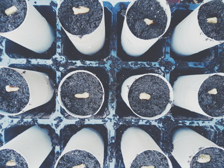 toilet roll seed pots