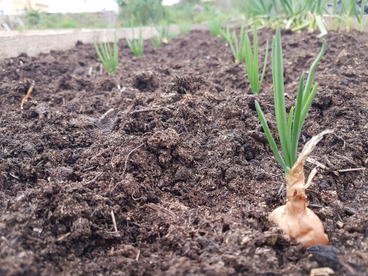 Shallots in no dig bed