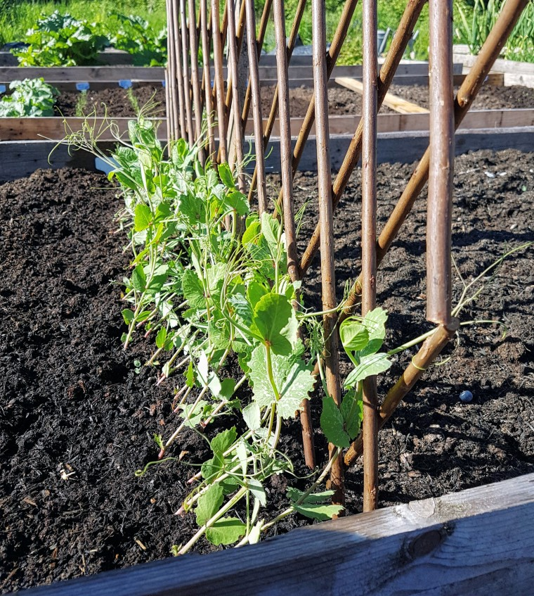 Peas climbing frame