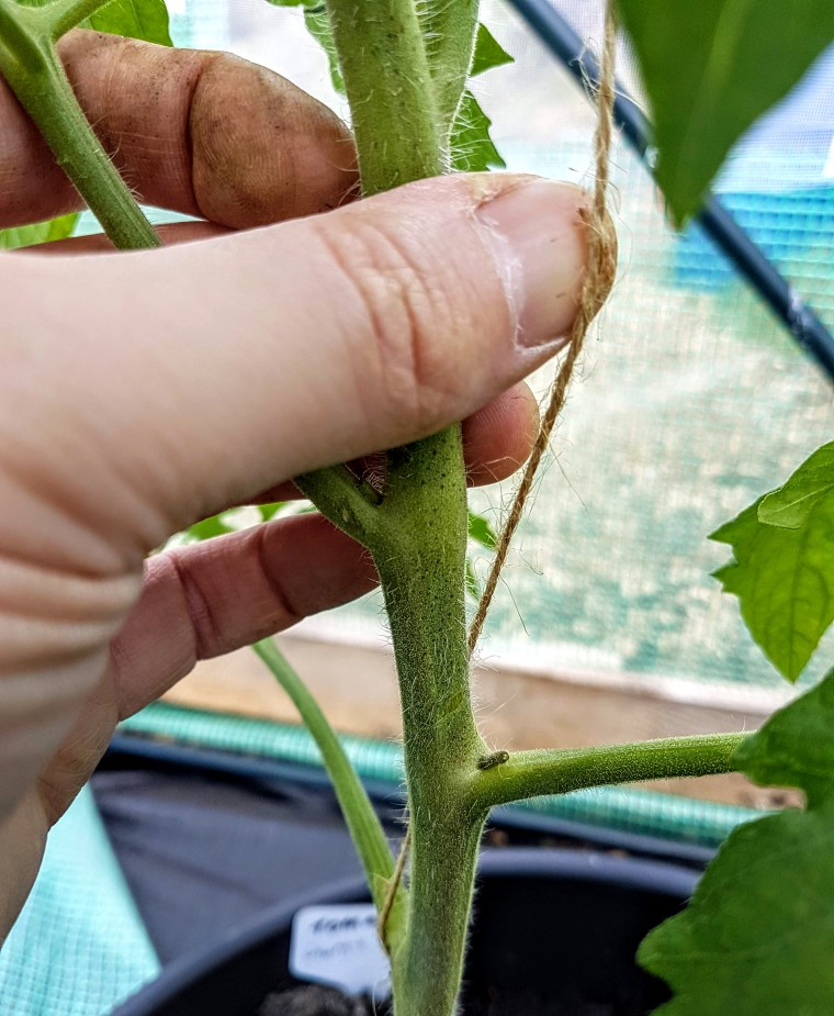 Twist string around tomato plant