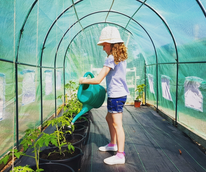 Watering tomatoes in polytunnel