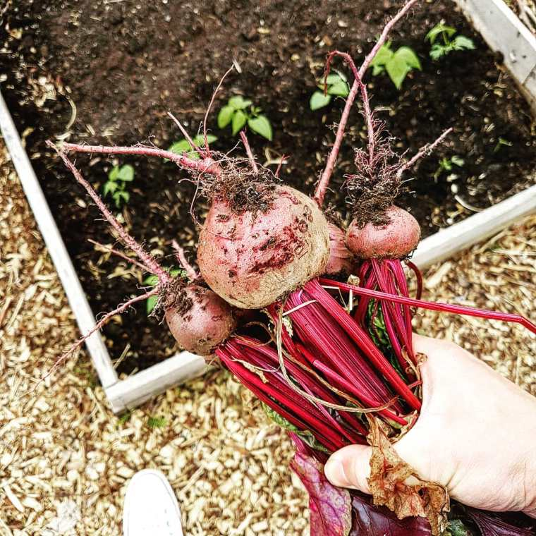 Harvesting beetroot