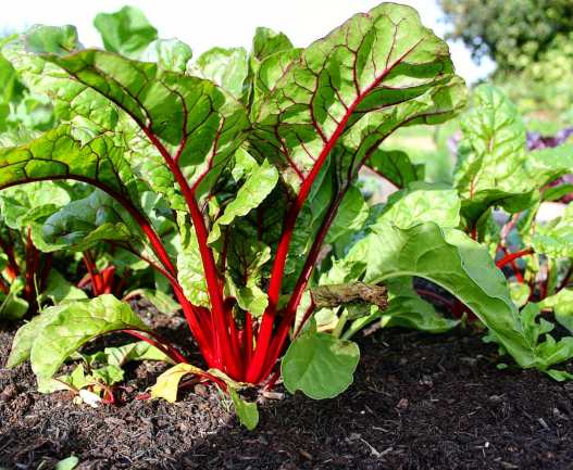 Chard on the allotment