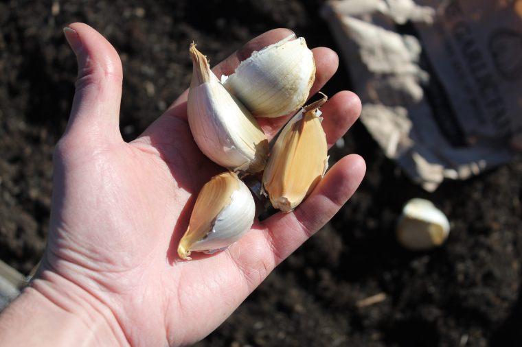 Elephant Garlic cloves