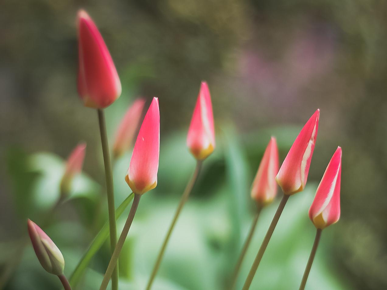 Tulipsinbloom